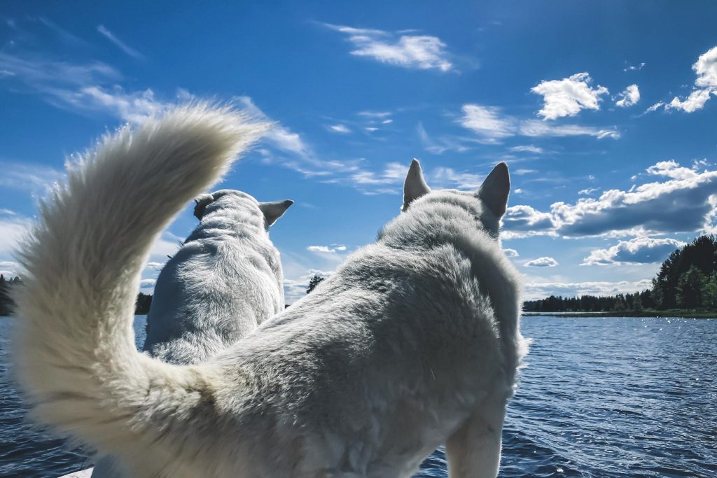 Koirien kanssa veneellä saareen.