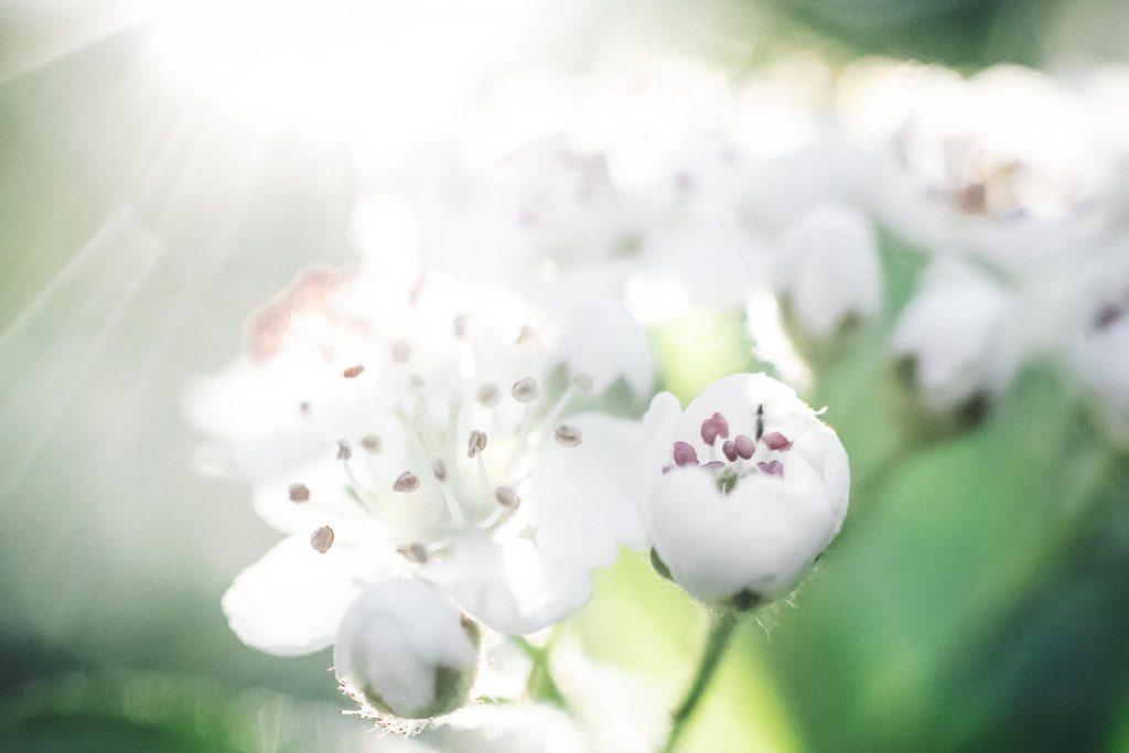Marja-aronian_kukkia_makrokuva.