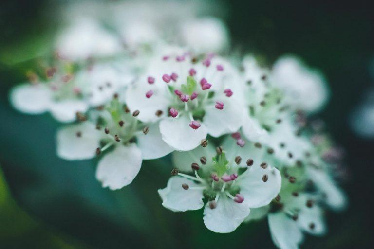 Marja-aronian kukka.