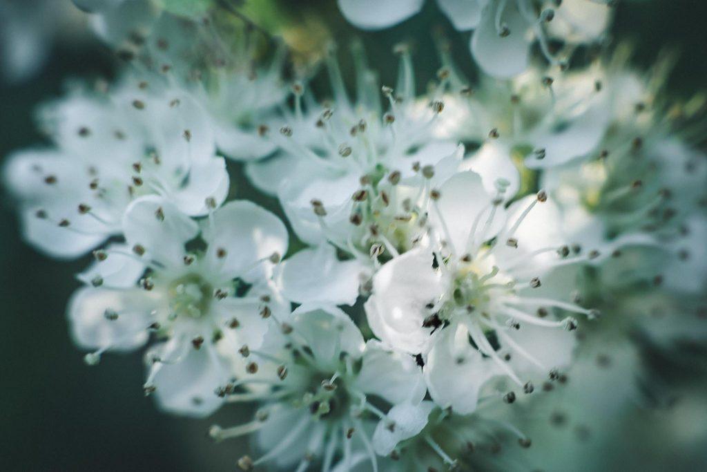 Pihlajan kukka.