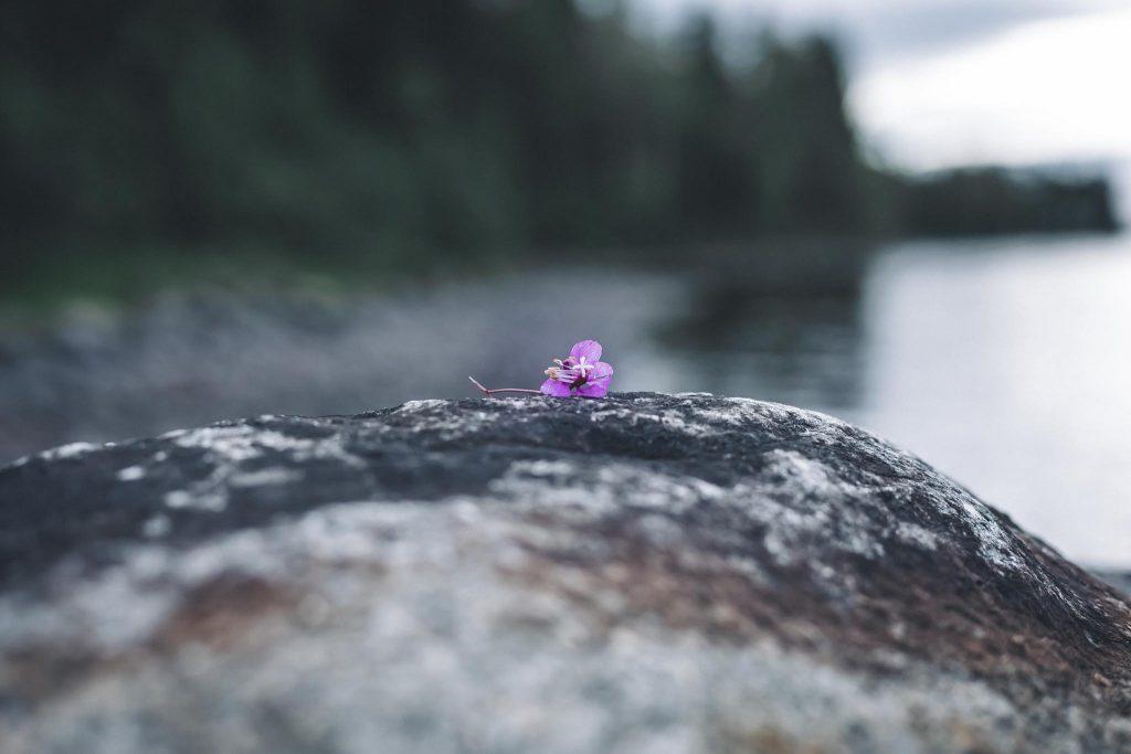 Horsman kukka järvimaisemassa.