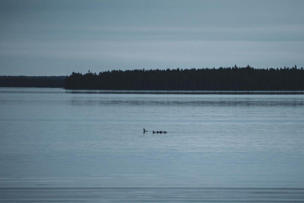 Sorsapoikue järvellä.