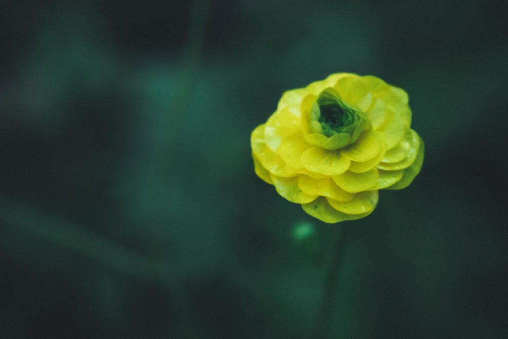 Markolinssillä kukkakuva niittyleinikki.