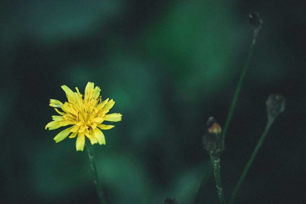 Zoomlinssillä kukkakuva.