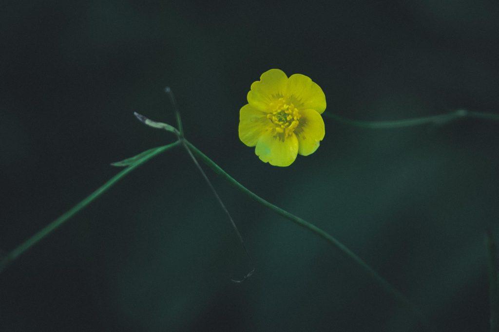 Zoomlinssillä kukkakuva niittyleinikki.