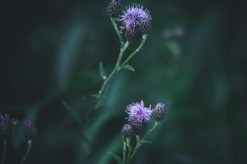 Zoomlinssillä kukkakuva ohdake.